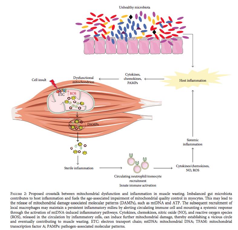 Salud muscular y salud de la microbiota. El rol de las bacterias intestinales desencadenando miopenia o controlándola.