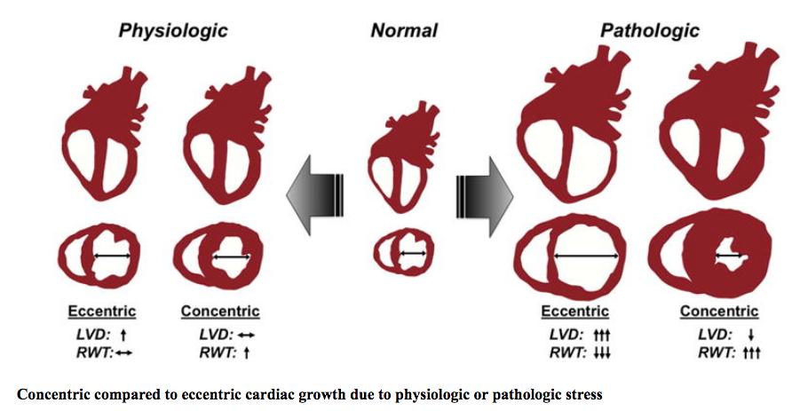 Envejecimiento y salud cardiovascular (Parte I). Conquistando corazones jóvenes en cuerpos viejos