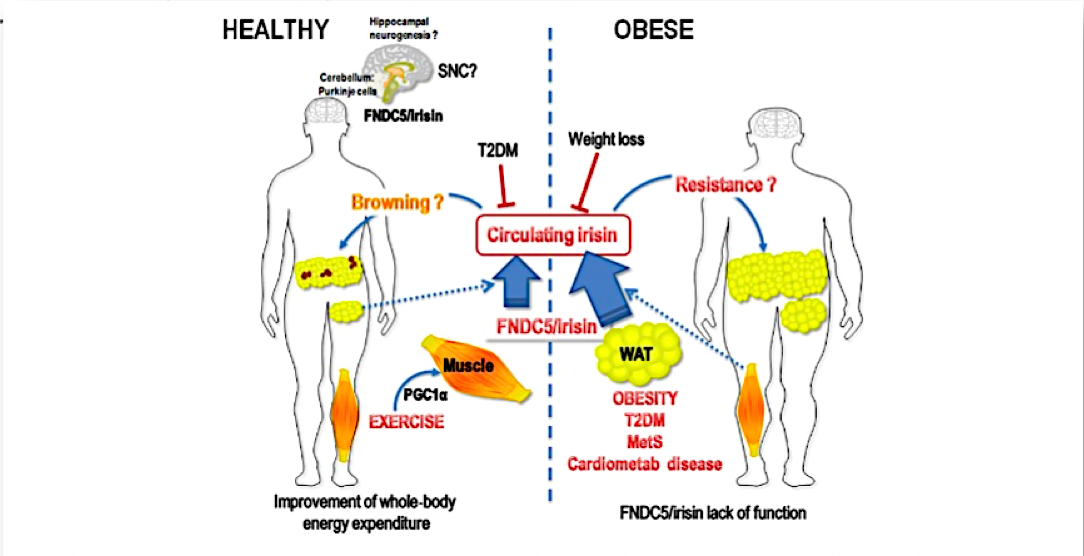 Comunicación entre órganos y músculo. La obesidad como generadora de un cortocircuito comunicacional