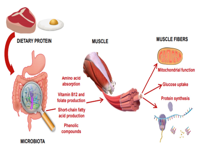 Microbiota intestinal, ejercicio y sarcopenia. Parte 1