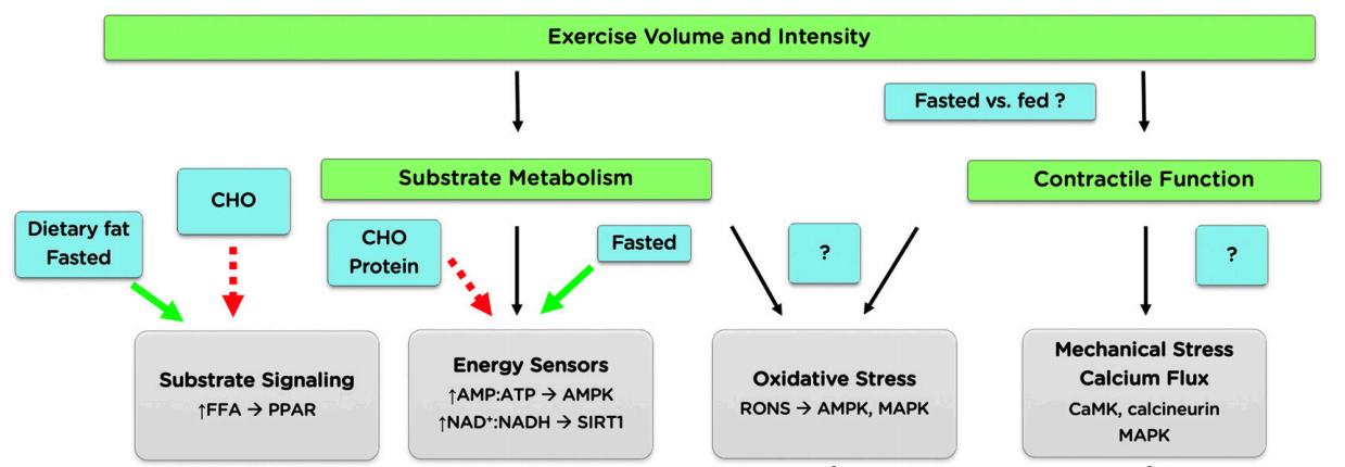 Los carbohidratos en situación de ejercicio (parte 3 de 3). El rol molecular vinculado a la ingesta de carbohidratos y las posibles adaptaciones