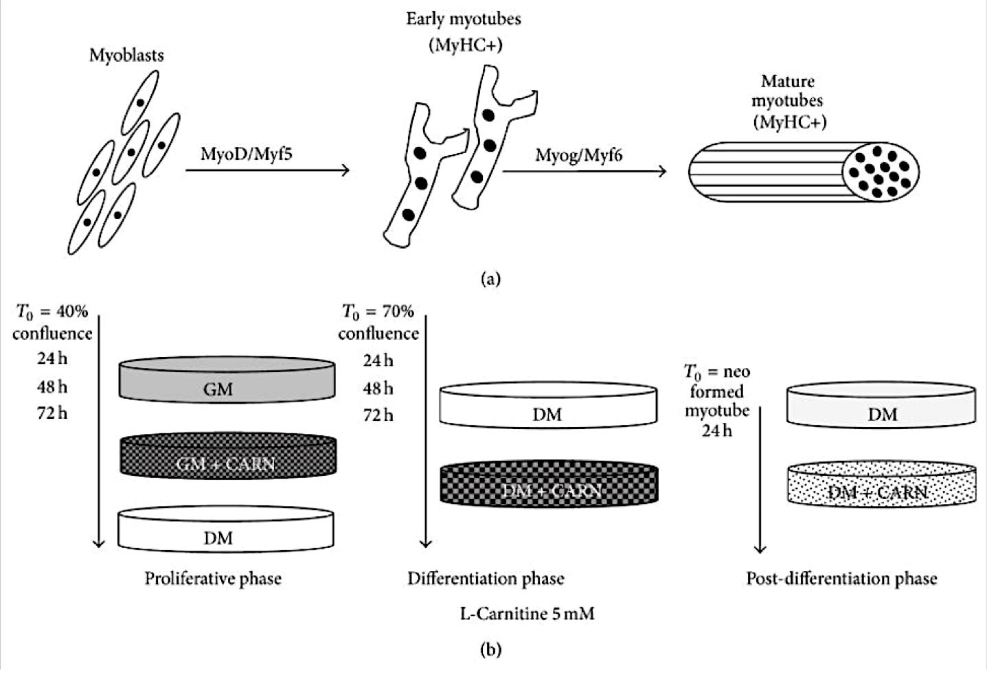 La multifuncionalidad de la carnitina. Desde la lipotoxicidad y la diabetes tipo 2, hasta el control de la masa muscular