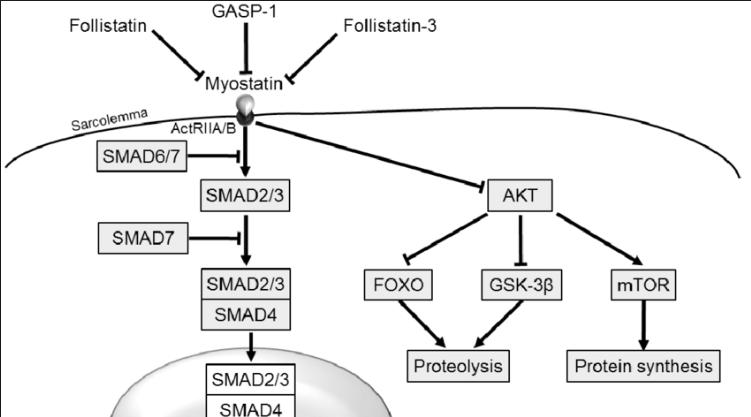 El rol de la miostatina en las enfermedades metabólicas