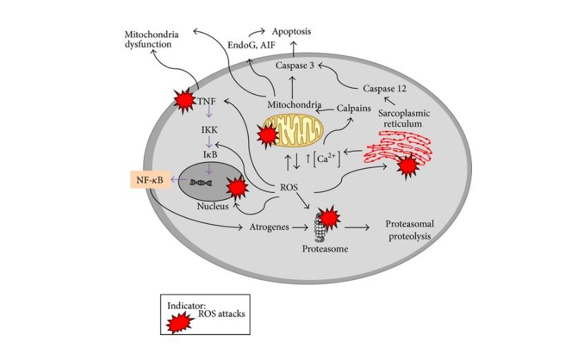La acción de las especies reactivas de oxígeno en el músculo que envejece
