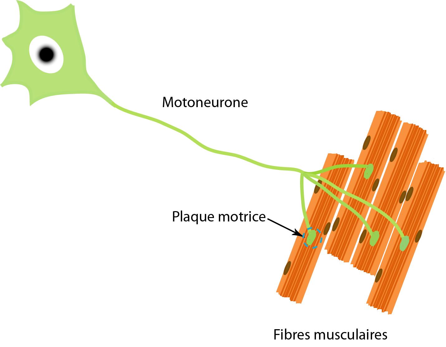 Las motoneuronas en situación de sarco-dinapenia