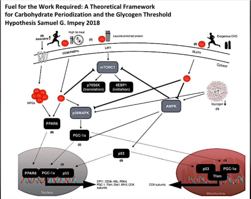 La restricción de los carbohidratos en ejercicio.