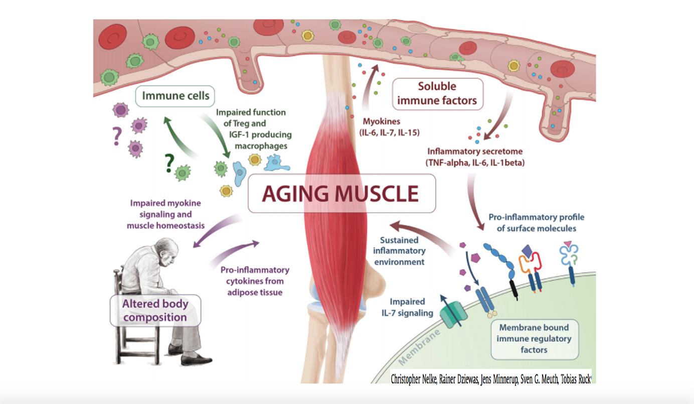 Sarcopenia y Senescencia inmunológica. Resguardarse con masa muscular en tiempos de COVID19