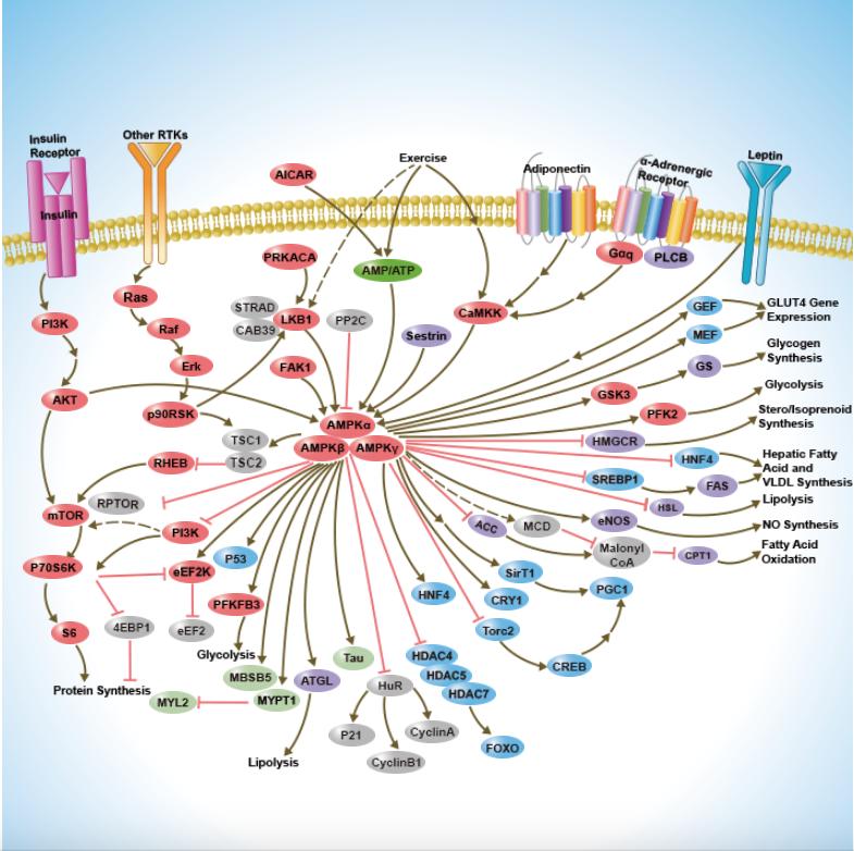 La AMPK como sensor energético y limitador anabólico proteico (Parte I). Algunas respuestas moleculares para comprender su vínculo con la mTOR